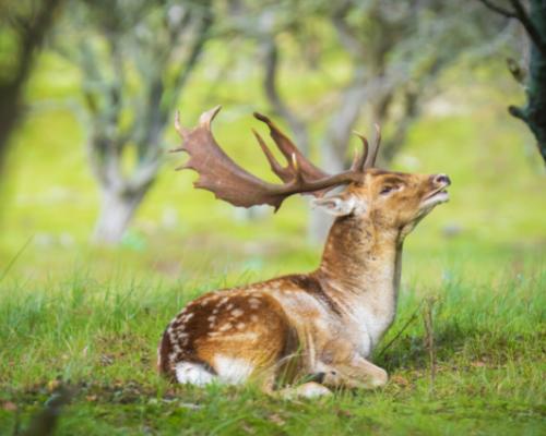 Fallow Deer square (500 x 400 px)