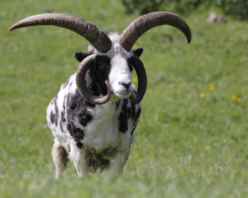 Multi Horned Sheep square (500 x 400 px)