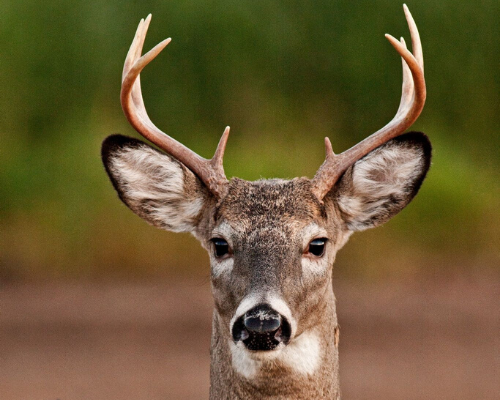 White Tail Deer square (500 x 400 px)