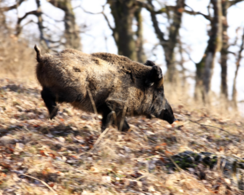 Wild Boar square (500 x 400 px)