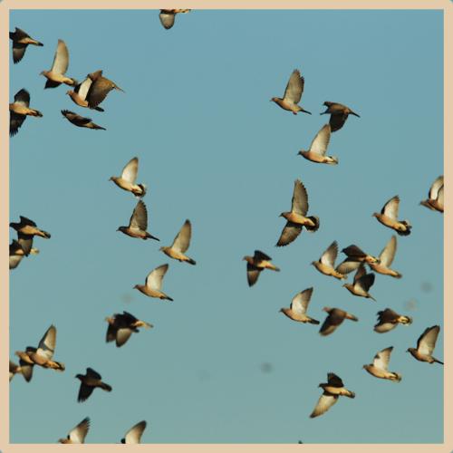 Dove & Pigeon