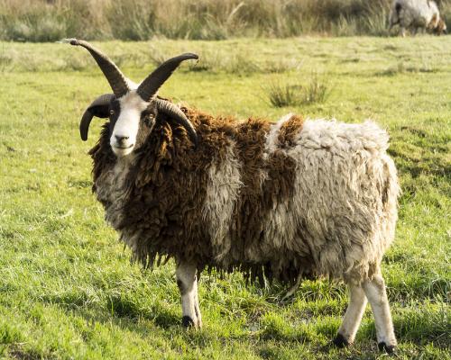 Multi Horned Ram