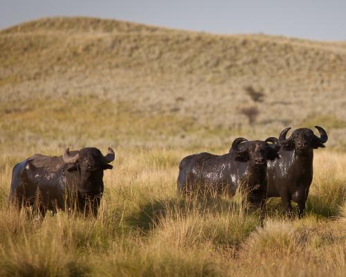 Water Buffalo (1)